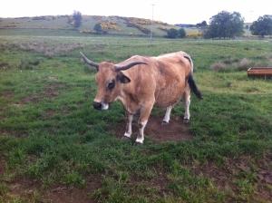Die robuste Rinderrasse Aubrac mit ihren eindrucksvollen, geschwungenen Hörnern